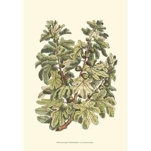 Fig Tree Branch by Duhamel De Monceau 13x19: Kitchen