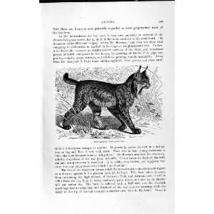NATURAL HISTORY 1893 94 PARDINE LYNX WILD ANIMAL