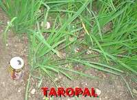 HERB GARLIC CHIVES 10 BARE ROOT PLANTS Allium tuberosum